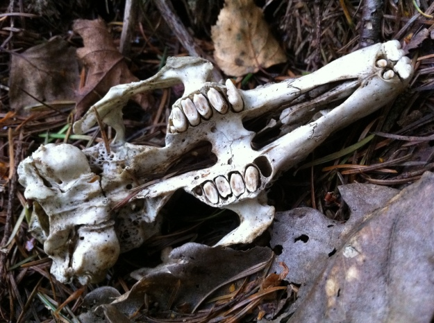 The skull of a rat lying on a forest floor
